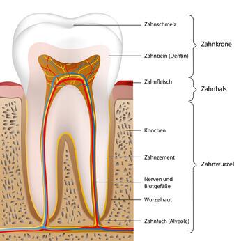 Querschnitt eines Zahns